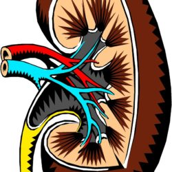 Was machen eigentlich… die Nieren?