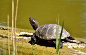 Krafttier Schildkröte